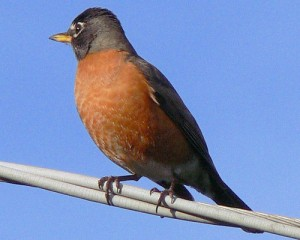 An American Robin on a branch