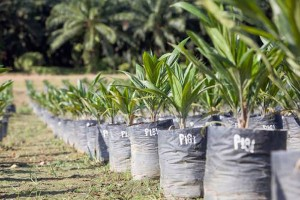 Baby palms in Borneo used to develop Neste Oil's sustainable palm oil