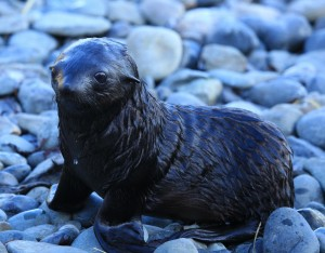 Newborn seal pups vulnerable to climate change