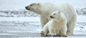 Polar bears need longer to adapt to climate change, say researchers