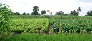 Rio+20 Business Focus: Yogic agriculture reaps benefits in India