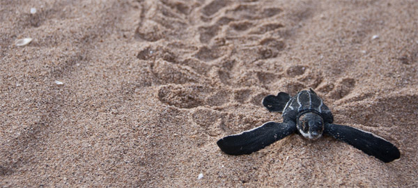 Climate change could cause Leatherback turtle populations in Costa Rica to collapse by 2100