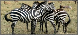 Photo of the week #32 - Climate change, drought and declining zebra populations