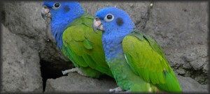 Photo of the week #30 - Deforestation and the Amazon's blue-headed Parrot