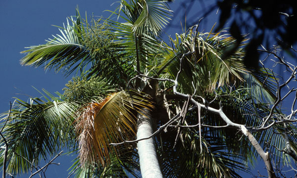 83% of the Madagascan palms, all of which are unique to the country, are under threat (Source: H Beentje/IUCN)