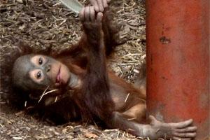 UNEP: Great apes offer yardstick for environmental destruction