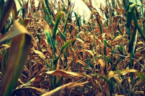 Biofuels condemned in 'Enough Food If' campaign