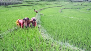 Climate resilient rice offers hope to Indian farmers
