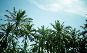 Palm oil: green fuel or rainforest killer?