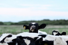 Skinny cows and climate change could cost farmers billions
