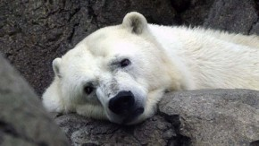 Giant polar bear heads to London for Arctic parade