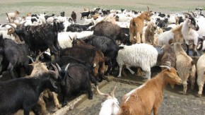 Mongolian Steppe munched into desert by goats and sheep