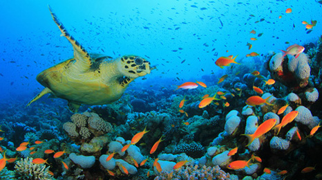 Turtle-and-tropical-fish_466