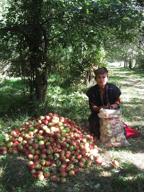 A oung Kyrgyz woman collected apples for sale and consumption (Pic: National Academy of Sciences of the Kyrgyz Republic/K.Musuraliev)
