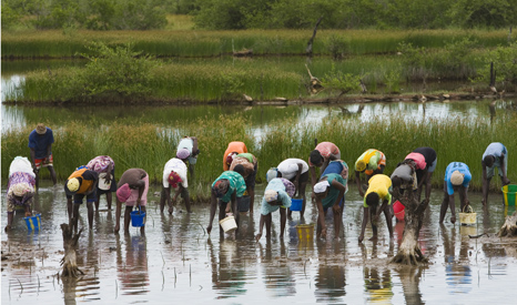 Villagers planting mangroves in Senegal - a simple and cheap way of building up coastal defences (Pic: UN Photos)