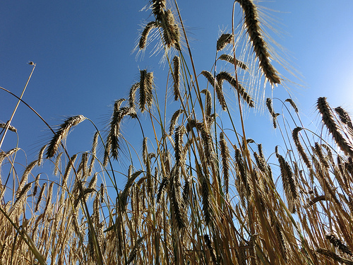 Wheat yields are vulnerable to ozone, but air pollution controls can help