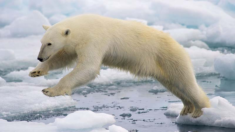 A lone polar bear - the ultimate climate cliche (Pic: Wikimedia Commons/Arturo de Frias Marques)