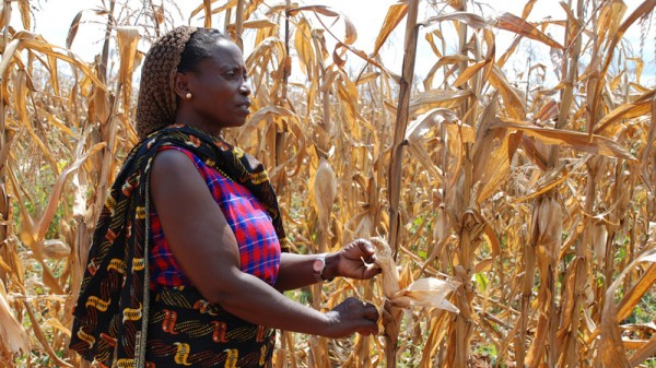 """Depending on value judgements"", climate impacts like lower maize yields ""might already be considered dangerous,"" according to a deleted line in the IPCC report (Pic: Flickr/CIMMYT)"