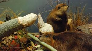 Beaver resurgence ups climate warming methane emissions