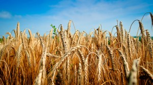 Small temperature rise could devastate wheat yields, say scientists