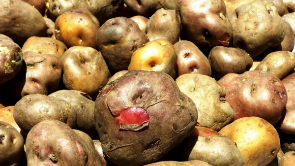 Potatoes are the staple food crop in the high Andes (Pic: Fabiola Ortiz)