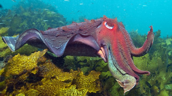Cuttlefish (Pic: Catlin Seaview Survey)