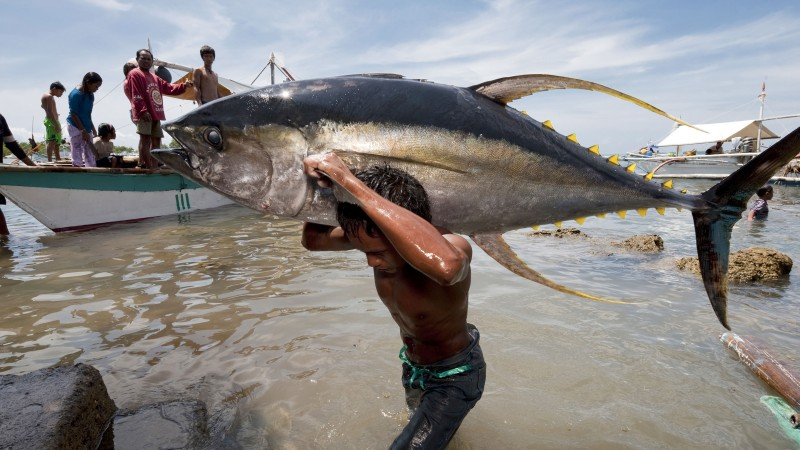 A fisherman carries a tuna at the Jacana tuna fish landing. Puerto Princesa, Palawan, Philippines (Pic; WWF)