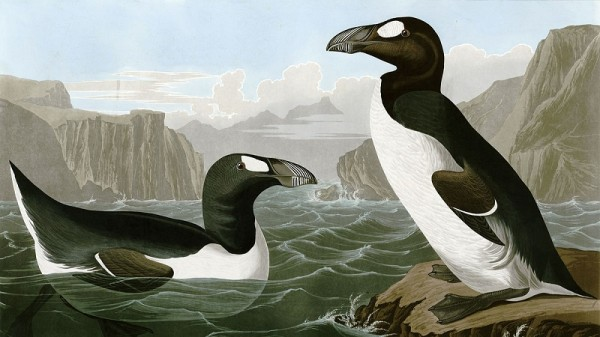 The great auk became extinct in the mid-19th century (Painting by James Audubon, uploaded to Wikimedia Commons by FunkMonk)