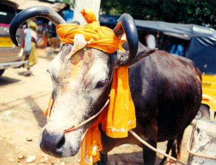Eating beef is prohibited in the Rig Veda and many Hindus avoid all meat (Flickr/Anand Krishnamoorthi)