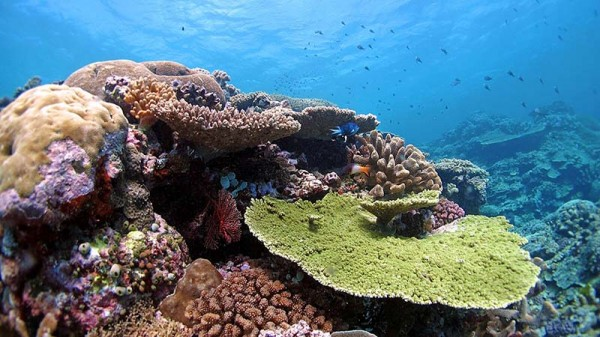 Heat-tolerant 'immigrant' coral could save reefs from extinction