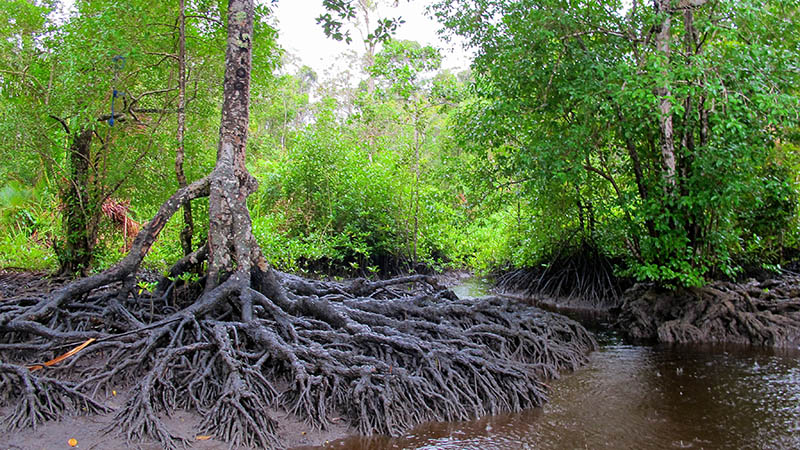 Mangrove forests on Lake Tabarisia in, Papua province, Indonesia (Flickr/ CIFOR)