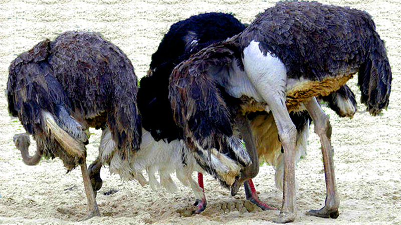 Ostriches put their heads in the sand (credit: wikimedia commons)