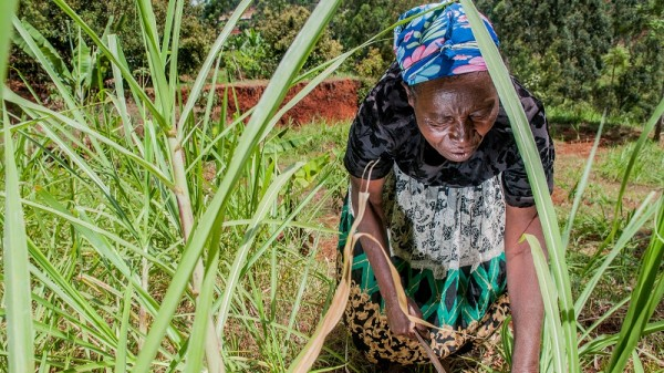Farmers plant napier grass to prevent soil erosion (Pic: Georgina Smith/CIAT)