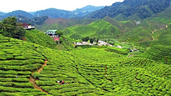 Tea farm in Malaysia (Flickr/Cheryl)