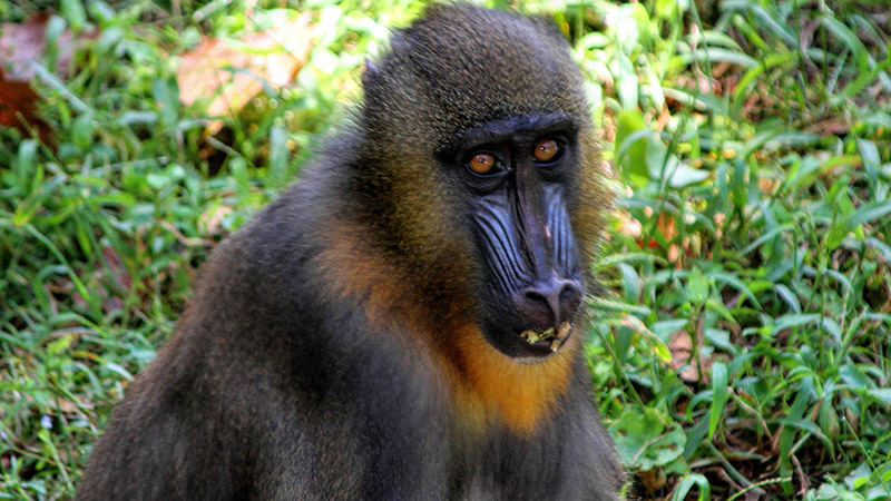The mandrill (Mandrillus sphinx) is a primate of the Old World monkey (Cercopithecidae) family,[4] closely related to the baboons and even more closely to the drill. It is found in southern Cameroon, Gabon, Equatorial Guinea, and Congo. Mandrills mostly live in tropical rainforests and forest-savanna mosaics. They live in groups called hordes. Mandrills have an omnivorous diet consisting mostly of fruits and insects. (Flikcr/ Evangelio Gonzalez)