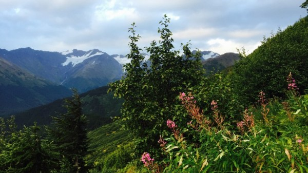 Receding glaciers on the North Face of Aleyska, in Alaska, with fireweed in the foreground. Credit: Leehi Yona
