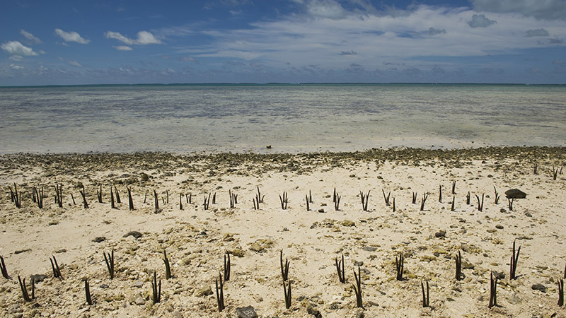 A view of mangrove shoots planted by Secretary-General Ban Ki-moon and others on Tarawa, an atoll in the Pacific island nation of Kiribati. Mr. Ban made an official visit to the area to discuss local people�s concerns about the effects of climate change on this low-lying land.