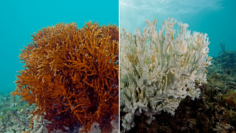 A fire coral in Bermuda, before and after bleaching (Pic: XL Catlin Seaview Survey)