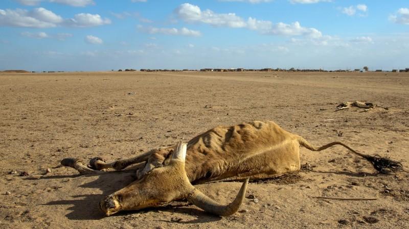 Dead cow, Ethiopia (Pic: Abiy Getahun/Oxfam)