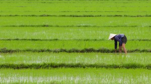 Simple planting switch could slash rice methane emissions