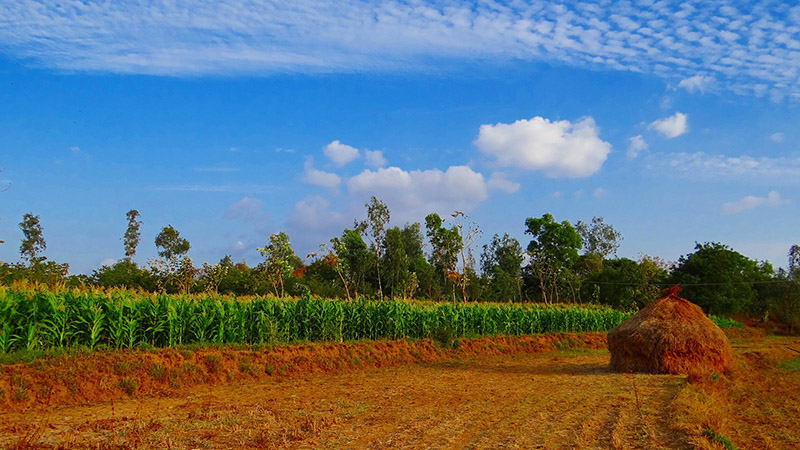 Crops like maize - pictured here in India-consume vast amounts of water and need to be carefully managed (Pic: Pixabay)