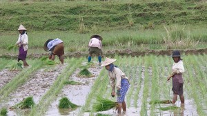 Southeast Asian crops suffer as rains fail