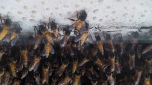 India bee populations are collapsing under environmental strain