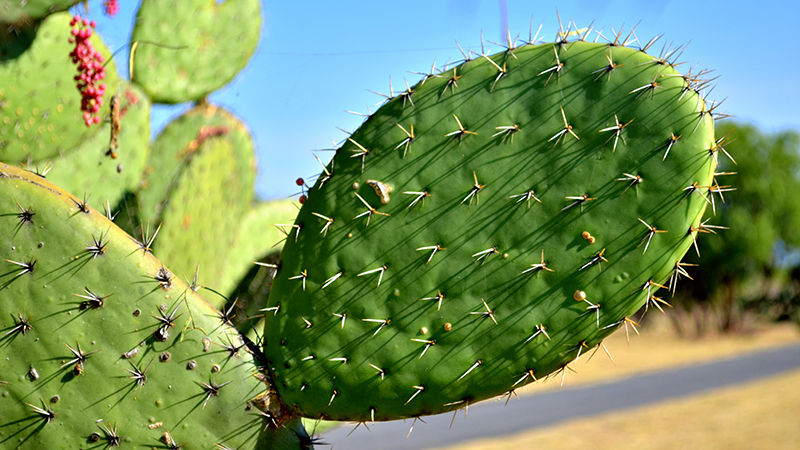 Prickly pear or 'nopal' as it is locally known will put through an anaerobic generator to produce biogas (Flickr/ Razi Marysol Machay)