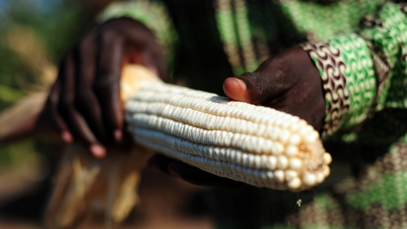 Maize yields will be affected by rising temperatures (Neil Palmer/CIAT)