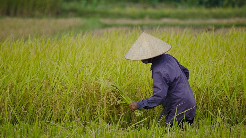 A Vietnamese woman harvests rice (Flickr/ Tyler Ingram)