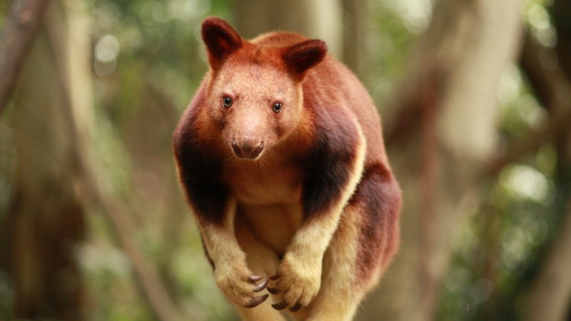 Tree kangaroos are threatened by forest clearance (Pic: Flickr/Daniela Parra)