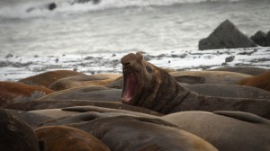 Elephant seals enlisted in Antarctic sea ice study