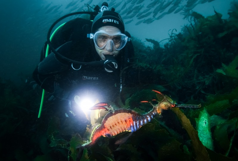 Weedy sea dragon, Tasmania. Photo: Emma Flukes