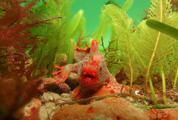 The critically endangered red handfish (Thymichthys politus) is endemic to southeastern Australia. Barrett said it was unlikely to survive beyond this century. (Photo: Emma Flukes)